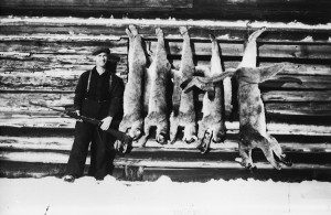 Chris Hamling Jr. with the cougars he shot on his Wilson Lake trap line, c. 1946.